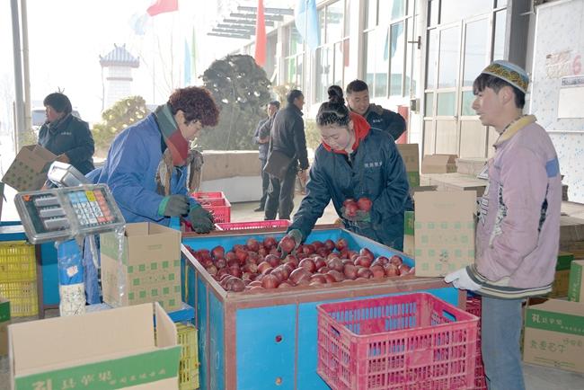 """陇南礼县""""扶贫车间""""动员苹果贩卖"""