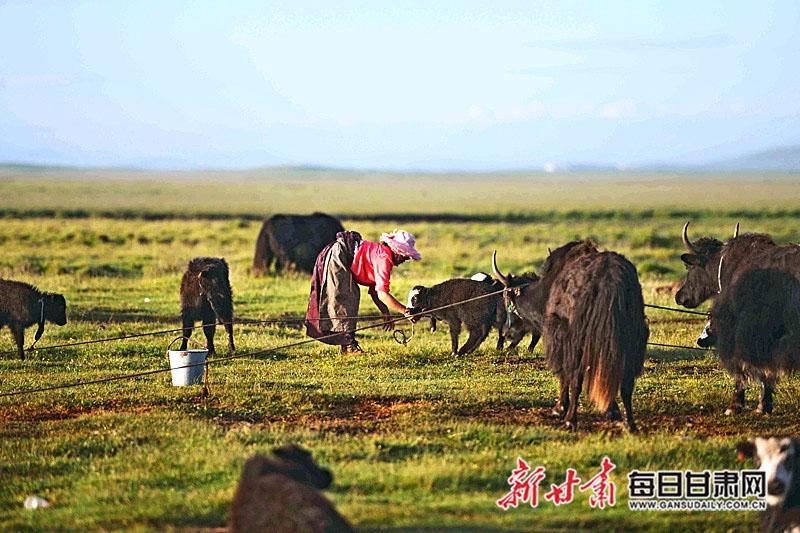 70《劳作》――2014年7月21日,玛曲河曲马场牧民准备挤奶 摄影: 吾坚九.JPG