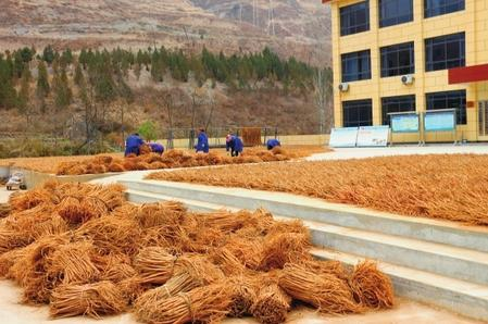陇南文县任和农副产品公司的工人们正在晾晒黄芪