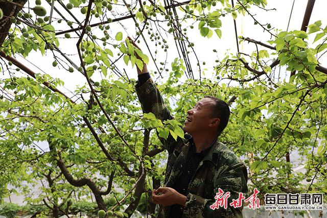 图为大棚莳植户正在对杏子举行疏花。 朱元军摄.JPG