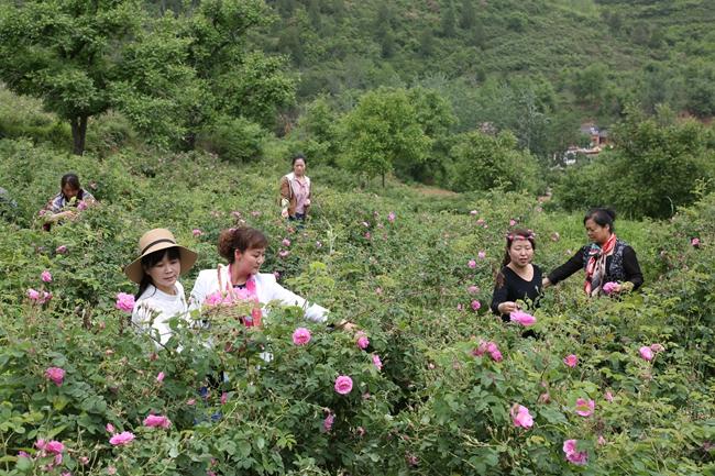 陇南两当县鱼池乡发展玫瑰加工产业 年创收1000多万元