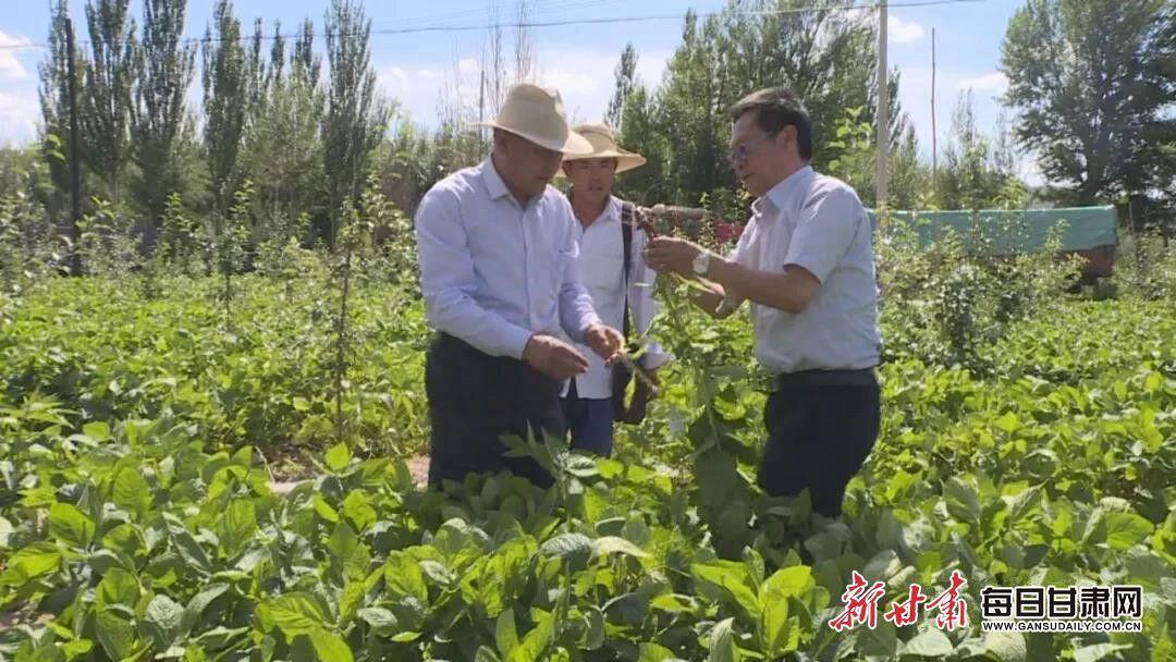 苹果园里种大豆 会宁果农增收新模式