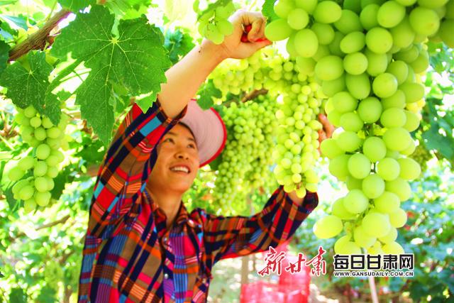图为果农采摘葡萄 (2)副本.jpg