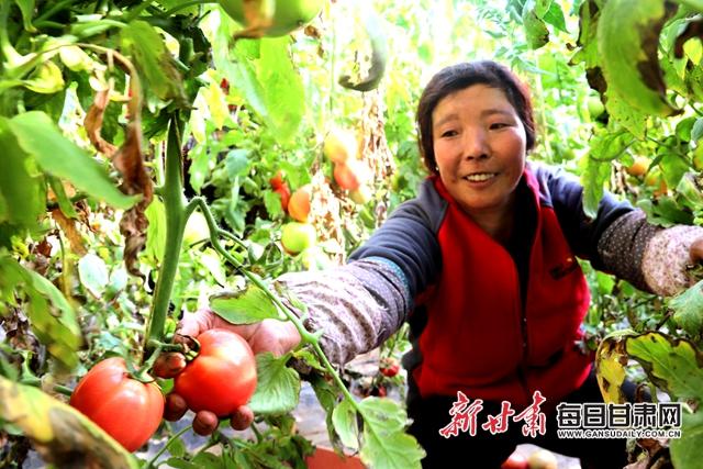 肖金万亩蔬菜基地菜农采摘西红柿盘小美摄.JPG