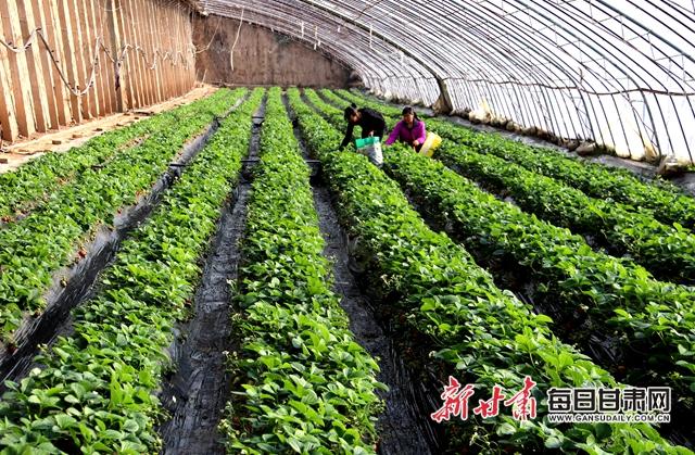 庆阳百丰园农民专业合作社工人在草莓棚里劳作02_.jpg
