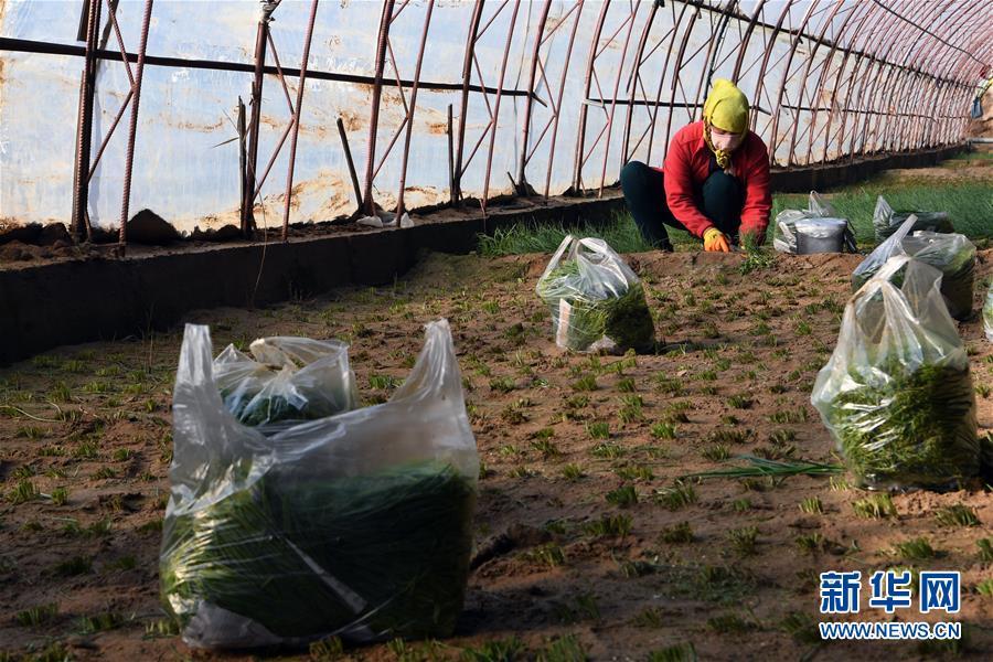 (新春走基层)(2)温室小沙葱 致富大产业