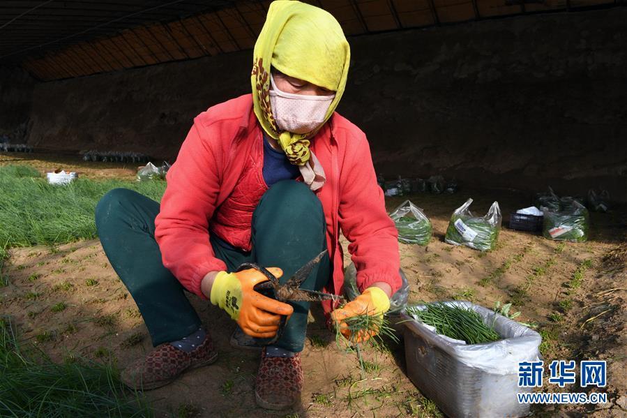 (新春走基层)(3)温室小沙葱 致富大产业