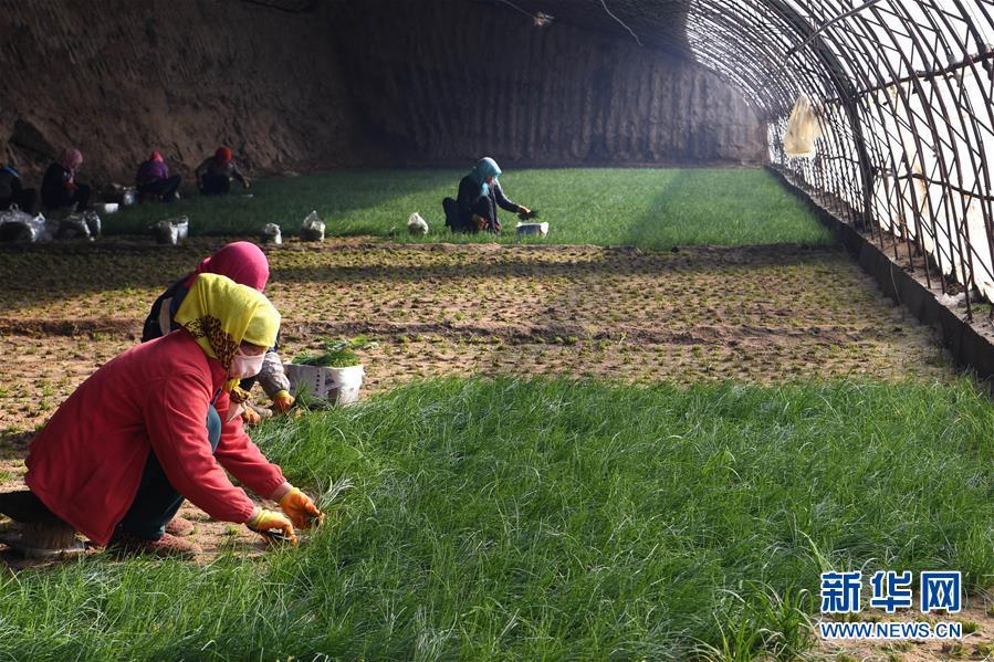 (新春走基层)(5)温室小沙葱 致富大产业
