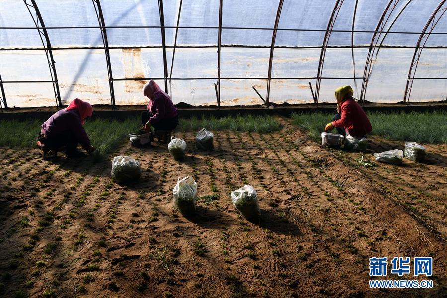 (新春走基层)(6)温室小沙葱 致富大产业
