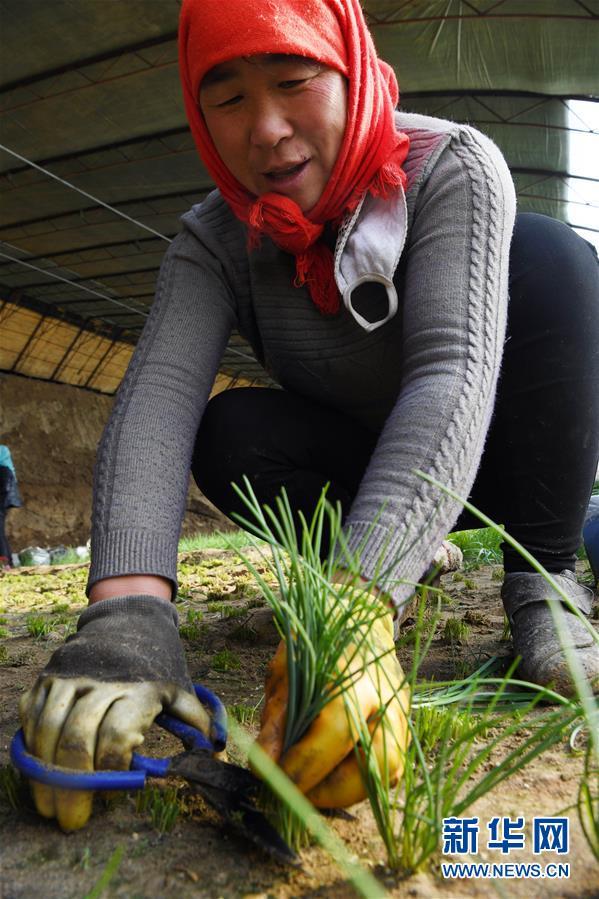 (新春走基层)(7)温室小沙葱 致富大产业