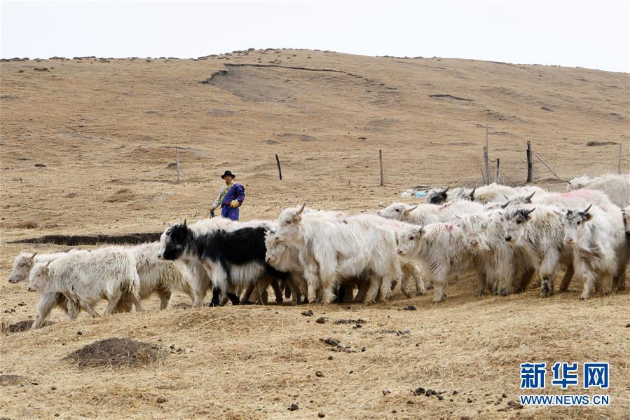 """(脱贫攻坚)(4)从贫困户到致富能人――藏族村民宋天柱""""变身""""记"""