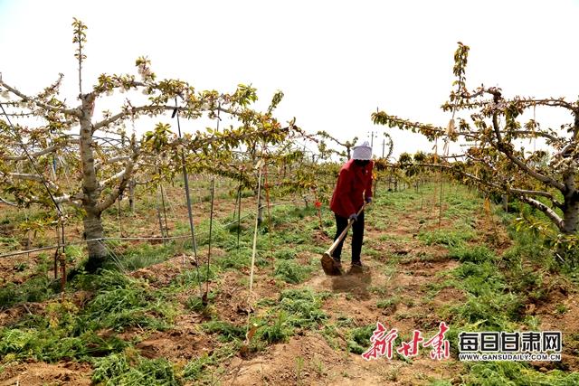 工人在林颖37°大樱桃基地除草.JPG