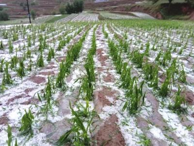 通渭连续遭受冰雹袭击 农作物受