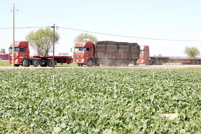 肃州戈壁成南方菜农福地