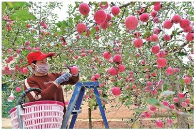 【图片新闻】宁县把苹果产业作为群众脱贫致富的首位产业