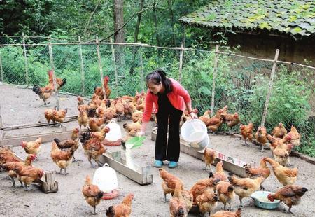 林下养鸡促农增收脱贫