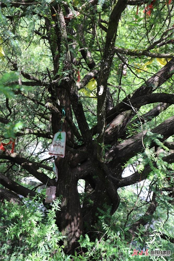 为千年红豆杉树躯干吊挂营养液.JPG