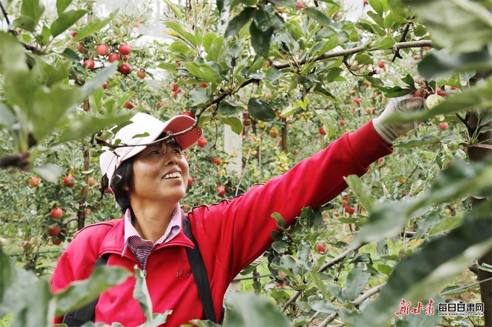 9月1日  在崇信县柏树镇矮化密植果园 一位果农正在采摘苹果.jpg