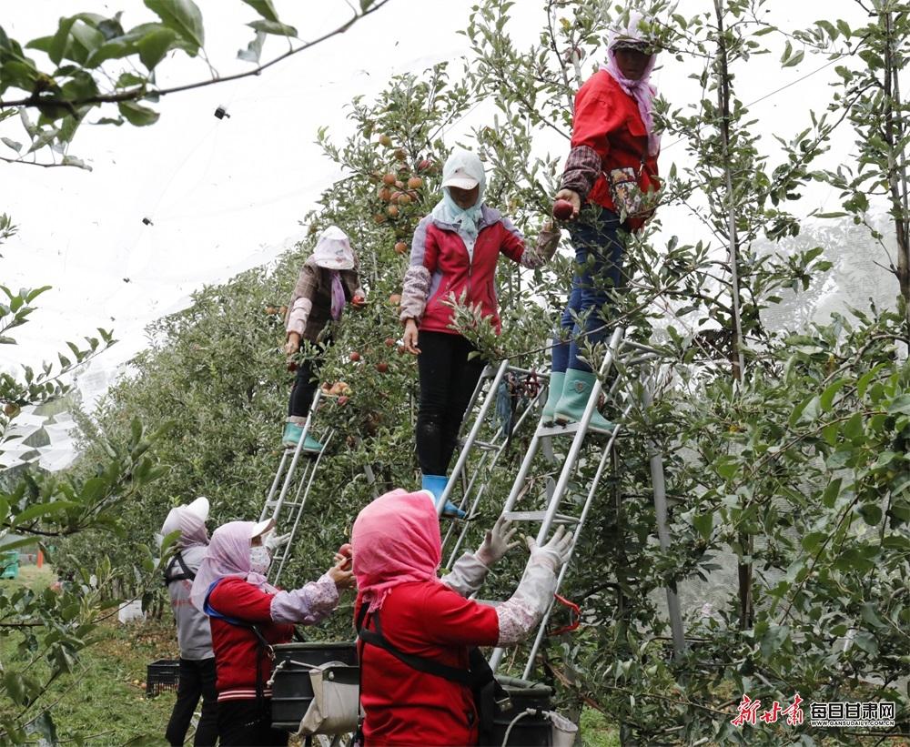 9月1日  在崇信县柏树镇一矮化密植果园 几位果农正在采摘苹果.jpg