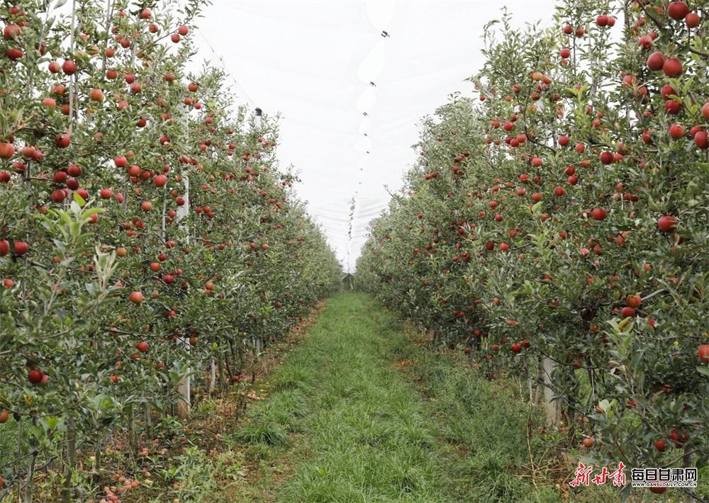 成熟的苹果挂满枝头.jpg